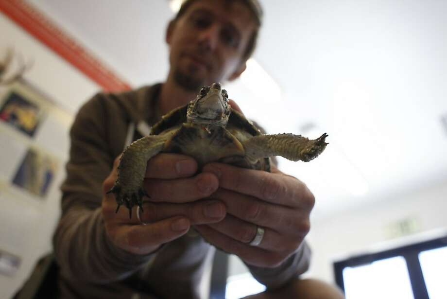 Zoological manager Victor Alm holds Dilbert, a western pond turtle, at the new Biodiversity Center. Photo: Lacy Atkins, The Chronicle