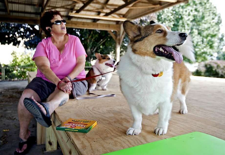In this Sept. 2, 2013 photo, Vicky Getz sits with her two Corgis, Koda, front, and Jeb while mingling with other corgi owners from Rockingham County as well as Florida at the Rockingham County Fairgrounds in Harrisonburg, Va. The group from Florida were traveling up the East Coast meeting with corgi enthusiasts, like the Shenandoah Valley Corgi Rescue, to fundraise and make friends. (AP Photo/The Daily News-Record, Jason Lenhart) Photo: Jason Lenhart, Associated Press