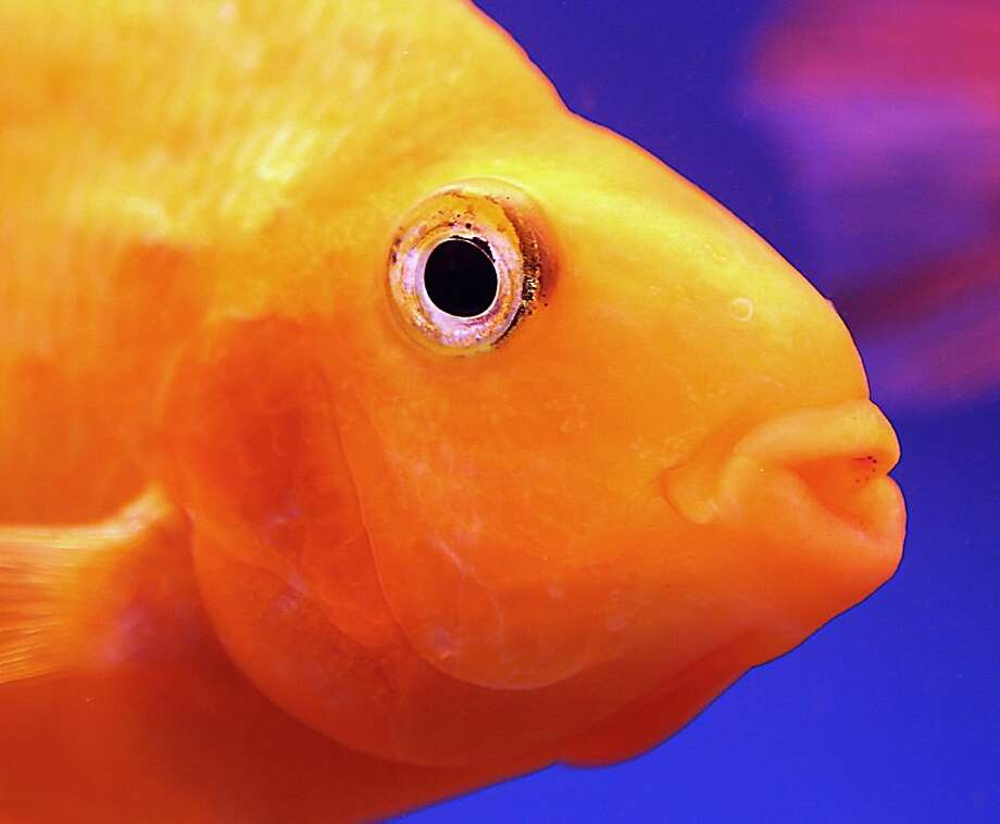 On the bright side, I'm not in the Fuhe River: An aquarium goldfish waits to be sold at a market in Kuwait City. Photo: Yasser Al-zayyat, AFP/Getty Images
