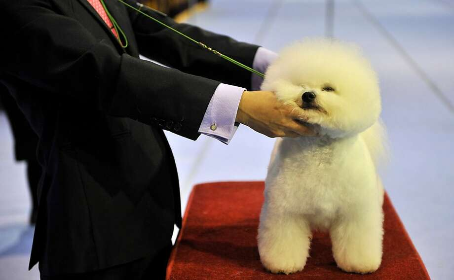 Hold this pose: A breeder prepares his dog for the judging ring at the Seoul FCI International Dog Show. Photo: Truth Leem, AFP/Getty Images