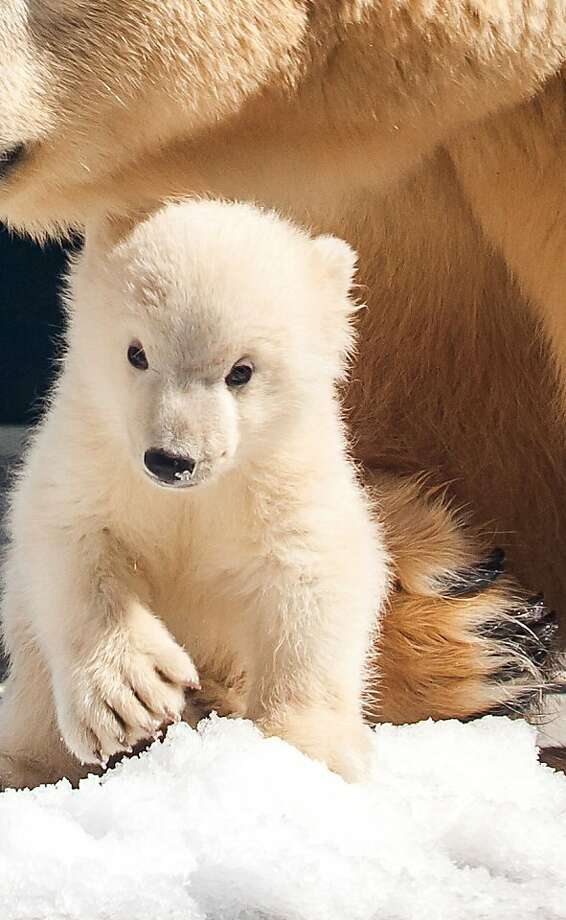 Sea World's fluffy fellow: This little one, a 4-month-old male born to Liya at Sea World Gold Coast Australia, might be the world's cutest polar bear cub since Knut. Photo: David Paull, Getty Images