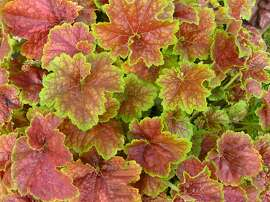 For colorful foliage in part shade, in cooler maritime microclimates, Heuchera is a winner. This one is Heuchera villosa 'Miracle'.
