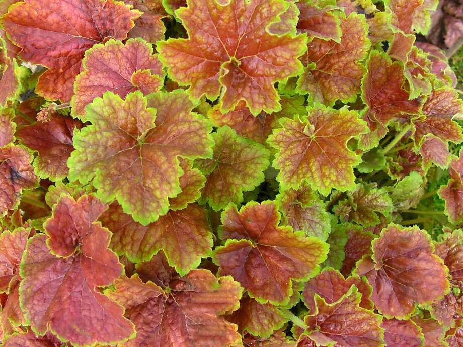 Heuchera villosa 'Miracle' is among the options for colorful foliage in maritime microclimates. Many Bay Area gardeners will be seeking alternatives to impatiens for bedding plants. Photo: Proven Winners