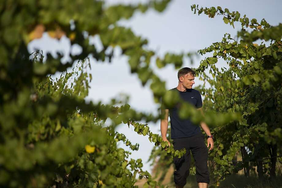 Markus Niggli, winemaker for Borra Vineyards, among vintners intent on upgrading wine quality, inspects grapes as he walks through a vineyard in Lodi. Photo: Dan Evans