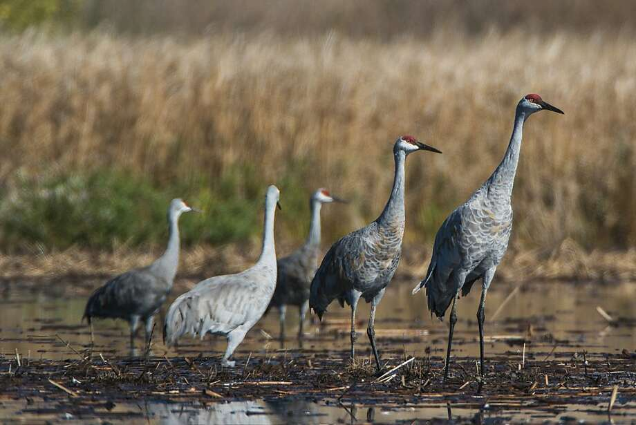 Majestic sandhill cranes, which stand about 5 feet tall, wade through water to feed at the Cosumnes River Preserve. For some, the Lodi area is home all winter.