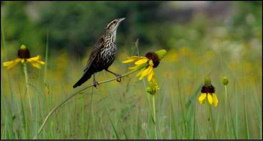 A female red-winged blackbird perches on a cone flower at Deer Park Prairie. Photo: Provided By Bayou Land Conservancy