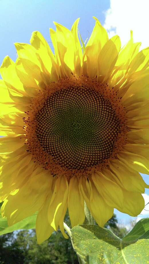 """Denise Clow of Colonie, says, """"One reason I hate to see summer come to an end:I know these beautiful sunflowers will be gone."""""""