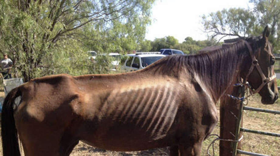 A Bexar deputy said the horses appeared to be badly injured, with cuts on their faces and haunches. Also, the animals on the 8-acre plot didn't have access to food or water. Photo: Photos Courtesy Of The Bexar County Sheriffs Office