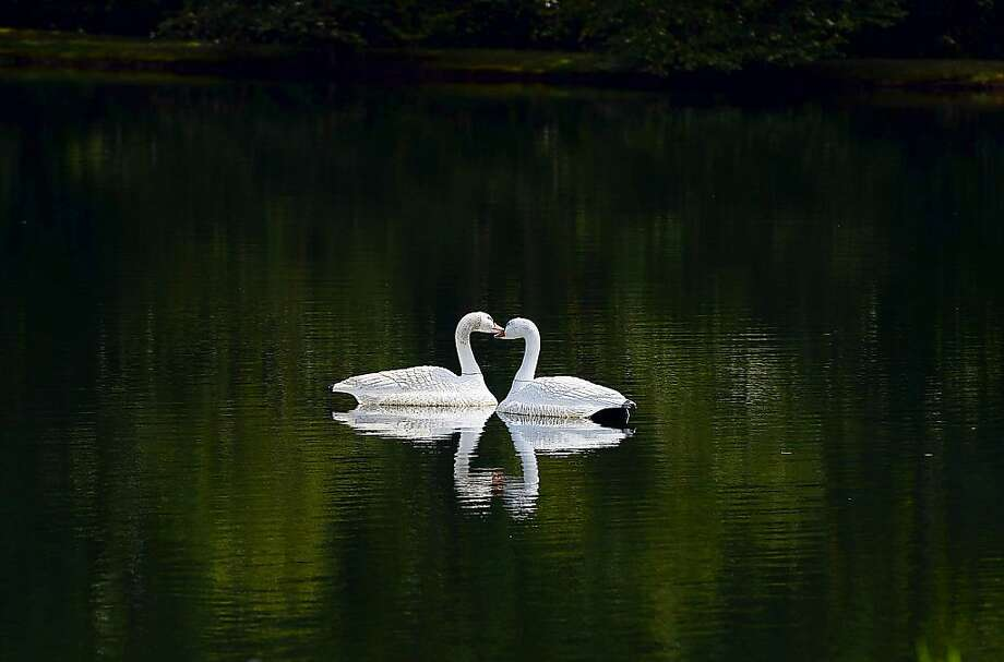 A pair of swans float in a pond in the Research Triangle Park in Durham, N.C. on Tuesday, Sept. 3, 2013, Swans, who have long-lasting monogamous relationships, are regarded as a symbol of love and fidelity. (AP Photo/The Herald-Sun, Bernard Thomas) Photo: Bernard Thomas, Associated Press