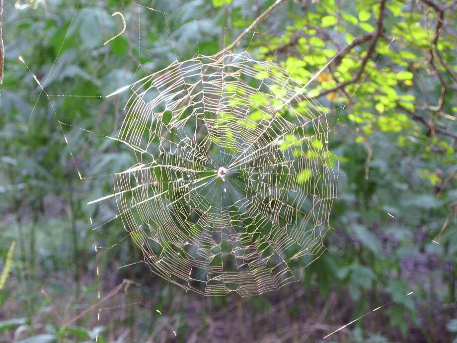Orb webs such as this one spotted in 2010 have been sparse since the drought arrived in 2011. Photo: Forresst Mims III / For The Express-News