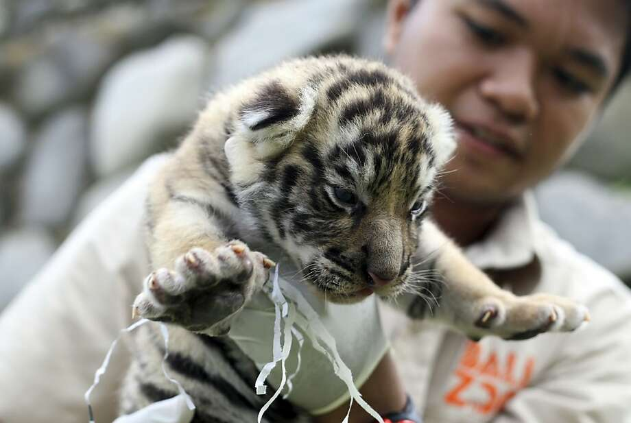 You know how toilet paper sometimes gets stuck to your shoesand you track it around without realizing it until after everyone else does? Same thing happens to baby tigers. (Two-week-old cub at the zoo in Gianyar, Bali.) Photo: Firdia Lisnawati, Associated Press