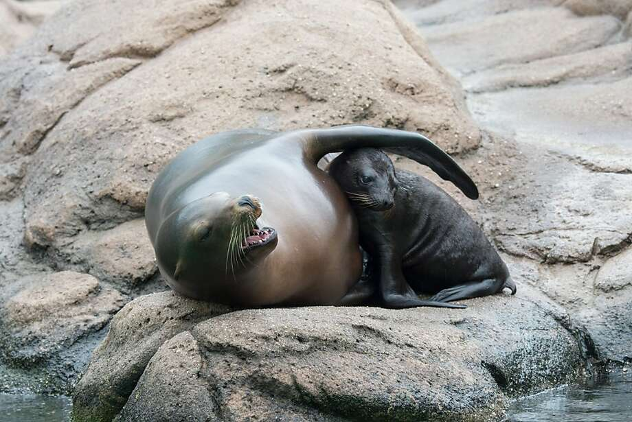 Helicopter parent:Come here, Sweetie. You don't have to swim in that cold water if you don't want to. (Sea lion and pup, Bronx Zoo in New York.) Photo: Julie Larsen Maher, Associated Press