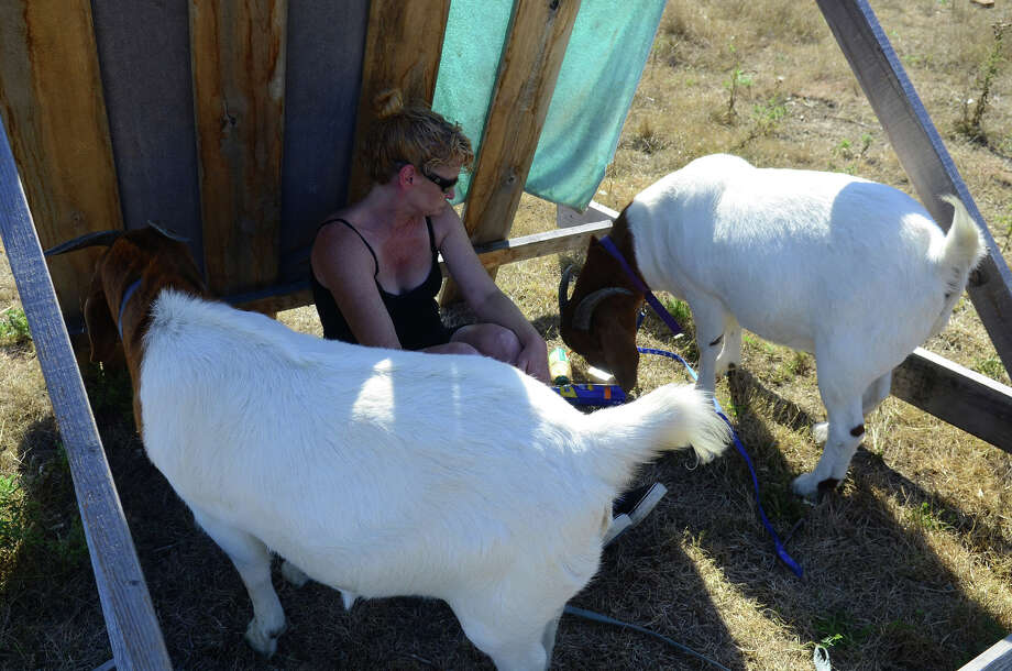 Goat Master Diane Fillmore checks on the goats during the eviction of residents from the Nickelsville homeless camp on Sunday, Sept. 1, 2013 in West Seattle. Photo: SY BEAN, SEATTLEPI.COM / SEATTLEPI.COM