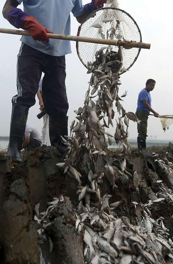 Workers dispose of dead fish found near a pumping station along the Fuhe River. About 110 tons of the poisoned fish have been found. Photo: Associated Press