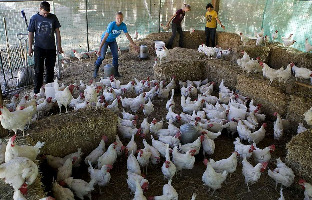 Josh Trenton (left), Simone Hasenbein, Debbie Ramsey and Susan Larsen round up the chickens at Animal Place in Vacaville.