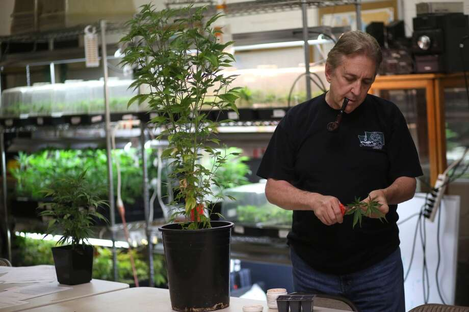 Medical marijuana advocate Steve Sarich takes a clipping from a plant at his Access 4 Washington collective in Sodo on Wednesday, September 4, 2013. Photo: JOSHUA TRUJILLO, SEATTLEPI.COM