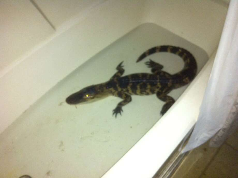 Kobe the pet alligator is back home in Columbia County. His owner, Rhonda Leavitt, said he was found in a nearby stream two weeks after he went missing. (Photo provided by Rhonda Leavitt)