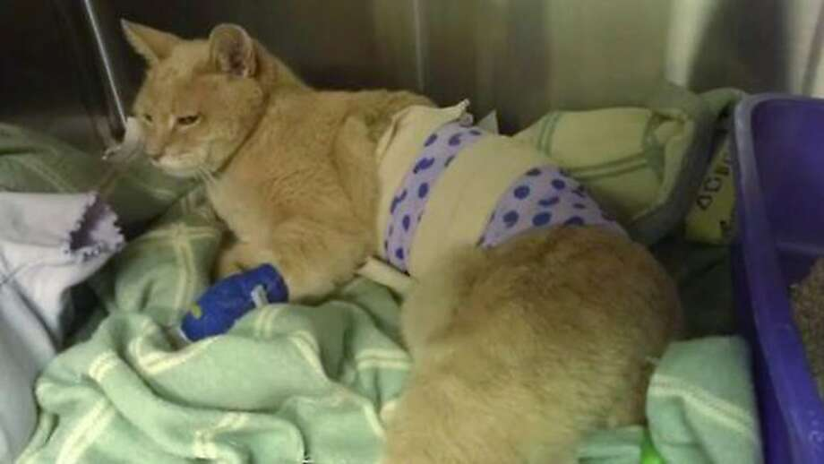 'Mayor' uses up most of his nine lives:Stubbs, the longtime honorary mayor of Talkeetna, Alaska, is recovering at Big   Lake-Susitna Veterinary Hospital after a nasty confrontation with a canine constituent. The poor public servant suffered a punctured lung, a deep gash on his side and a fractured sternum in the attack. Stubbs was elected mayor in a write-in campaign 15 years ago. It is not known when he'll be able to return to his duties at City Hall. Photo: Lauri Stec, Associated Press
