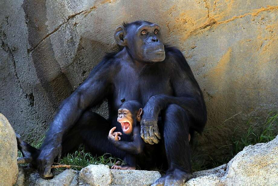 Dinner. Here. Now:It's pretty clear what this baby chimpanzee wants from her mother at the Los Angeles Zoo and Botanical Gardens. Photo: Nick Ut, Associated Press