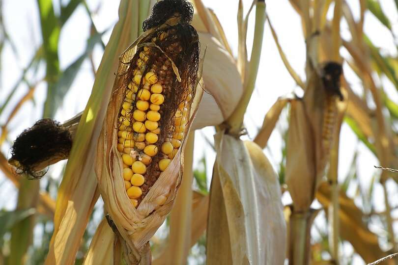 FILE- In this Aug. 27, 2103 file photo, an ear of corn is blackened in the sun during a heat wave in