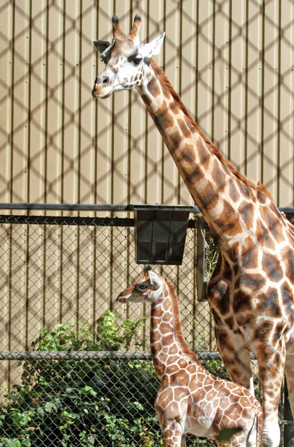 Seattle's tallest baby — a 1-month-old male giraffe — stood a towering 6 feet tall at birth. On Sept 5, he man 7 feet tall and is now on view in the outdoor corral to the delight of zoo-goers.