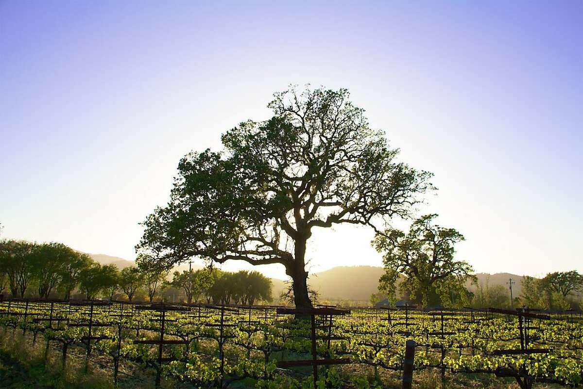 Oak tree in vineyards of Campovida winery in Hopland.