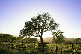 Oak tree in vineyards of Campovida winery in Hopland.