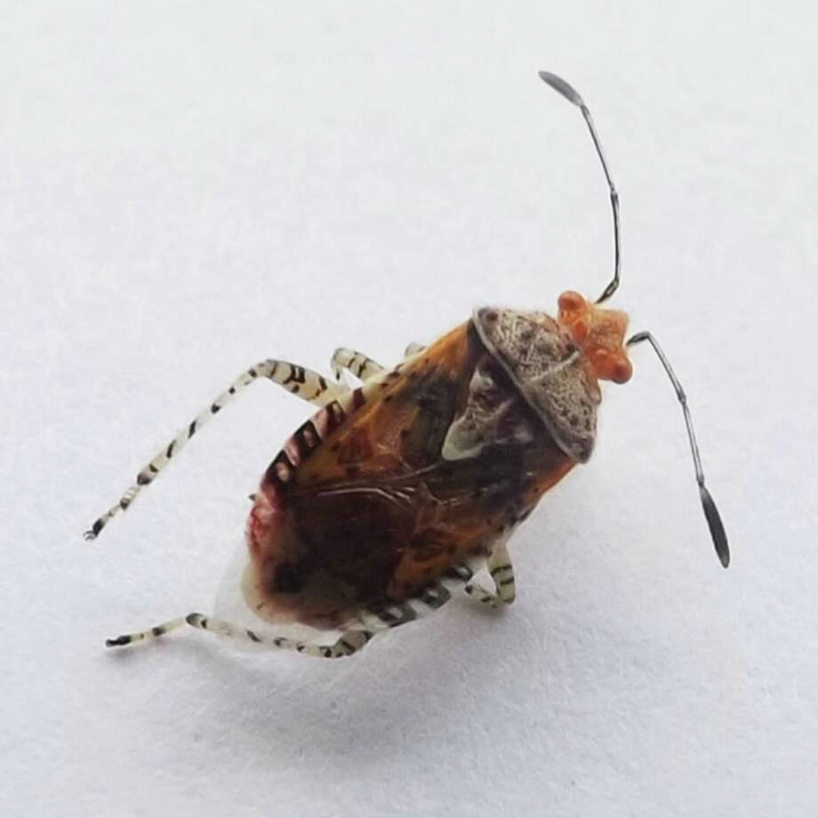 "Its shield shape identifies this as a ""true bug."" Photo: Courtesy Photo"