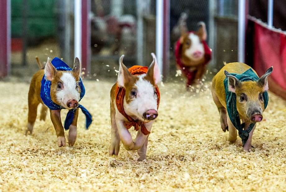Pokey porky out of the gate: The Los Angeles County Fair pig derby has just begun, and already those who bet on Red are regretting their decision. (Pomona, Calif.) Photo: Joe Klamar, AFP/Getty Images
