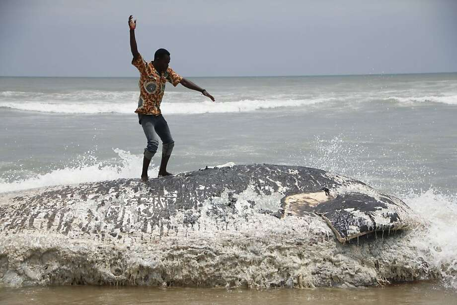 A villager surfs a dead whale in Kokrobite, a coastal hamlet outside Accra, Ghana, where five whales have washed ashore in three days. The government has dismissed speculation that oil operations could have caused the deaths of the marine mammals. Photo: Chris Stein, AFP/Getty Images