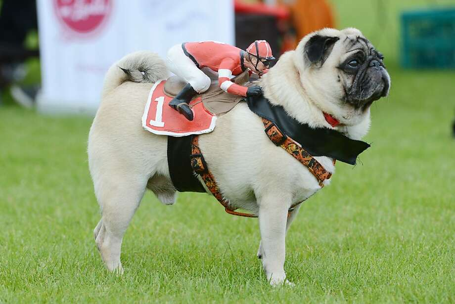 Rising from humble beginnings to become one of the greatest race pugs of all time,it's Dogbiscuit! He's so fast, his jockey has to hold on tight even when he's standing still. (Contestant in a pug and bulldog race in Wernau, Germany.) Photo: Franziska Kraufmann, AFP/Getty Images