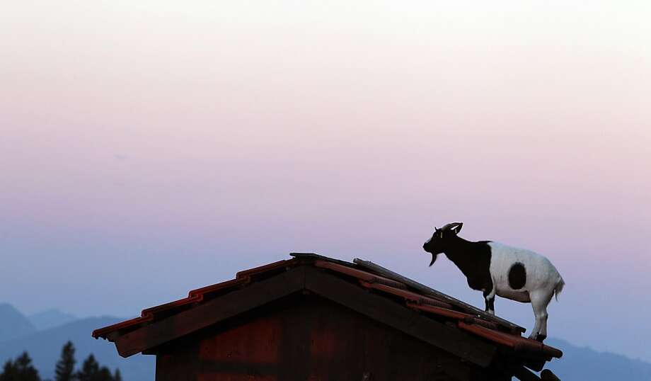 Roof hoofer: A goat greets the dawn from atop a hut on Auerberg Mountain near Bernbeuren, Germany. Photo: Karl-Josef Hildenbrand, Associated Press