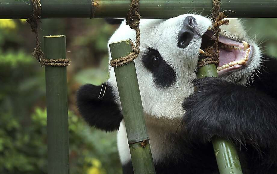 No prison can hold me! Especially not if the bars are made of bamboo and attached with 