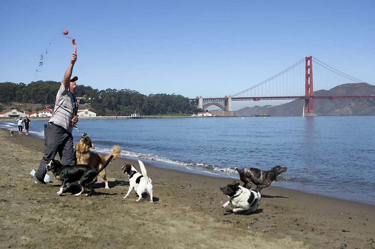 Dog walker Seth Green throws a ball for his dogs at Crissy Field beach in San Francisco, Calif. on Friday, Sept 6, 2013. The Golden Gate National Recreation Area is expected to release a supplemental report on dog walking that may be more lenient.