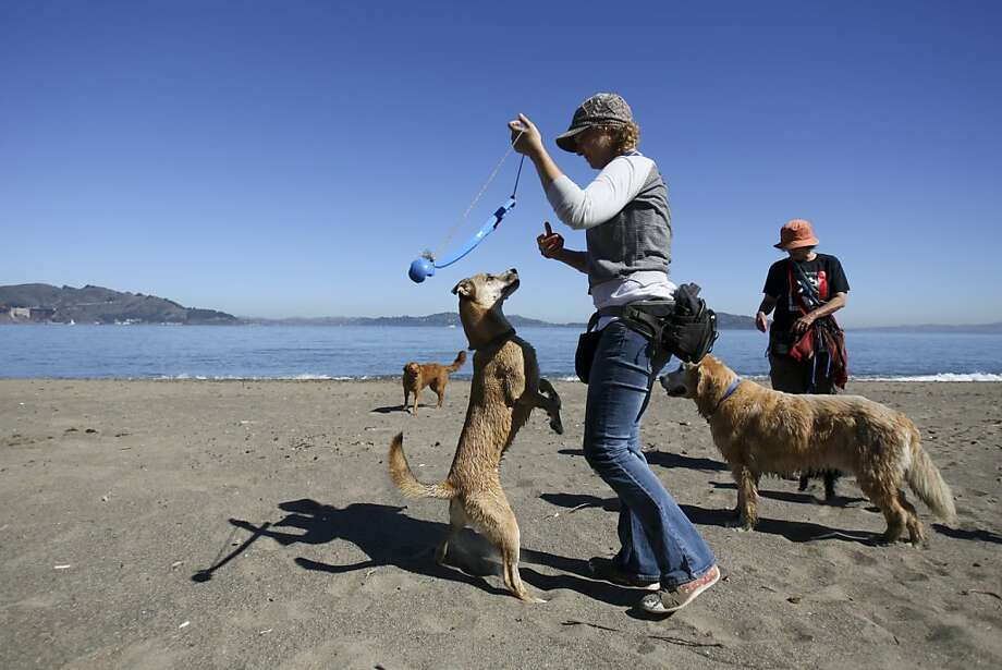 Dog walker Sarah Skidmore prepares to throw a ball for her dogs at Crissy Field Beach in San Francisco, Calif. on Friday, Sept 6, 2013. The Golden Gate National Recreation Area is expected to release a supplemental report on dog walking that may be more lenient. Photo: Raphael Kluzniok, The Chronicle