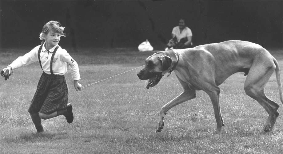 Danielle Pipher, 6, leads Louie, a Great Dane around during Adopt-a-Dog's annual Puttin' On the Dog show on Sept. 11, 1988. Photo: Greenwich Time