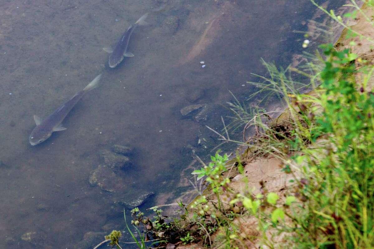 A pair of fish swim near the bank of Buffalo Bayou that flows trough the Hogg Bird Sancuary.