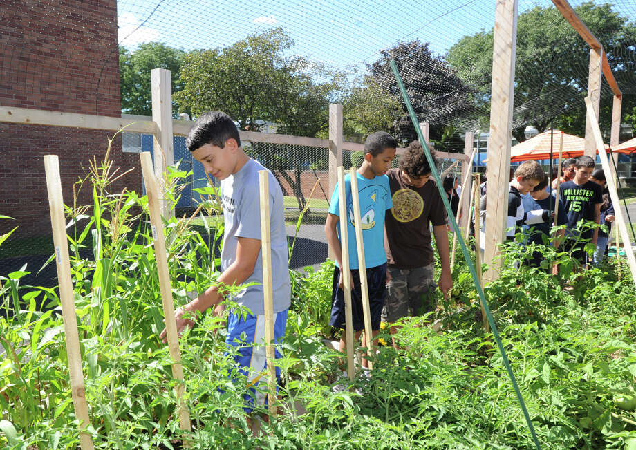 Western Middle School eighth grade students explore the school's organic garden in Greenwich, Friday, Sept. 6, 2013. Photo: Bob Luckey / Greenwich Time
