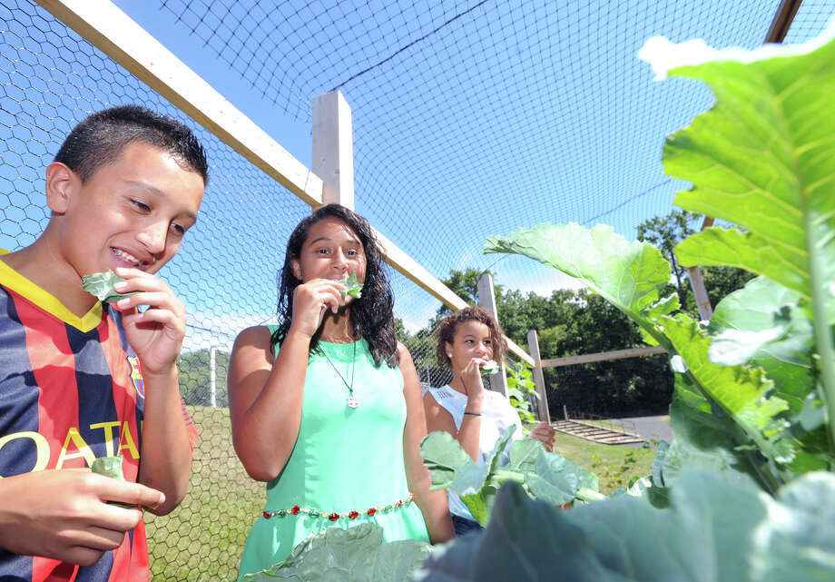 Western Middle School eighth students from left, Ben Morales, 12, Keilly Moncada, 13, and Elina Mena, also 13, sample broccoli leaves at the school's organic garden in Greenwich, Friday, Sept. 6, 2013. Photo: Bob Luckey / Greenwich Time