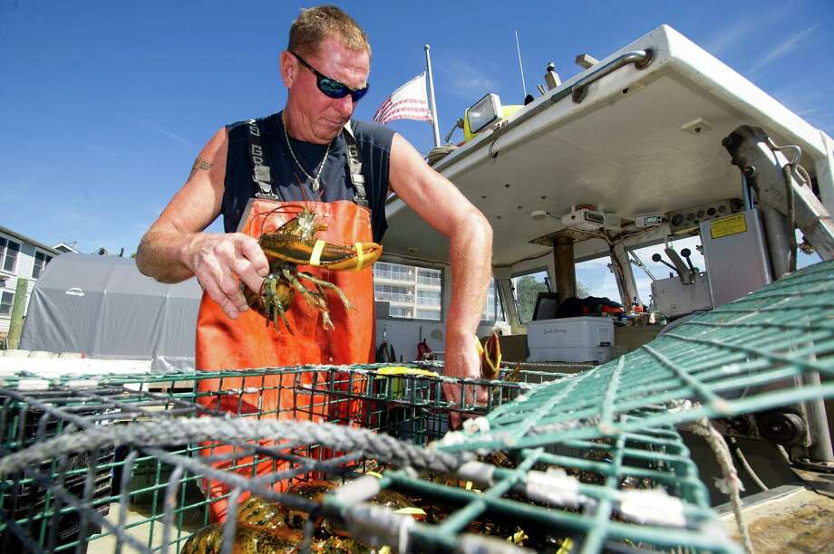 Mike Kalaman of Norm Bloom and Sons puts freshly caught lobsters into a cage and lowers it off the side of the dock into the water on Friday, September 6, 2013, where the lobsters will stay until they are sold. Photo: Lindsay Perry / Stamford Advocate