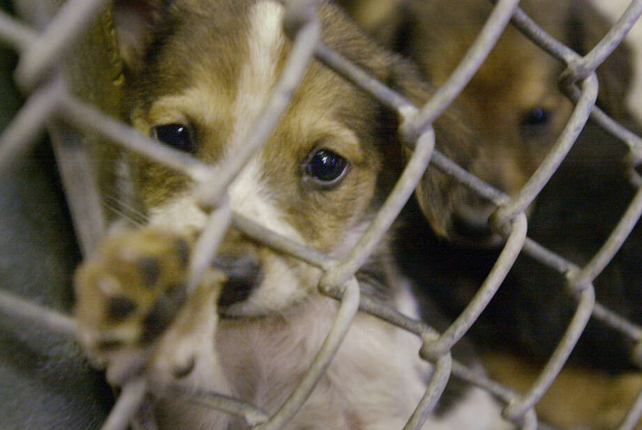 "Does San Antonio's ""no-kill"" goal bring unintended, detrimental consequences for some animals? Photo: File Photo, San Antonio Express-News"