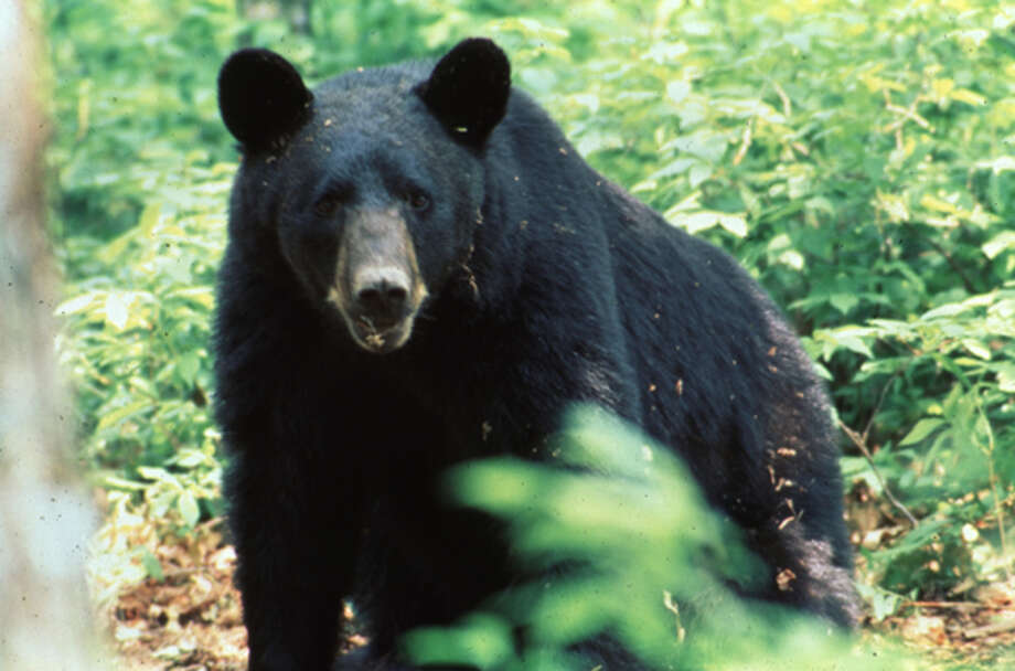 Black Bears of East Texas. Photos provided by the East Texas Black Bear Task Force. Photo: Handout