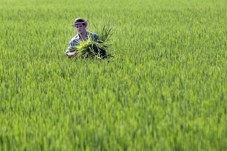 Arkansas: Farmer Ben Burgess carries a type of low-yield rice from a rice field near Coy, Ark. The Food and Drug Administration says consumers shouldn't worry too much about levels of arsenic in rice — but should vary their diets just in case. The agency released a study Friday, Sept. 6, 2013, of arsenic in 1,300 samples of rice and rice products, the largest study to date looking at the carcinogen's presence in that grain. Consumer groups have pressured the FDA to set a standard for the amount of arsenic that can be present in rice products. Photo: Danny Johnston, Associated Press
