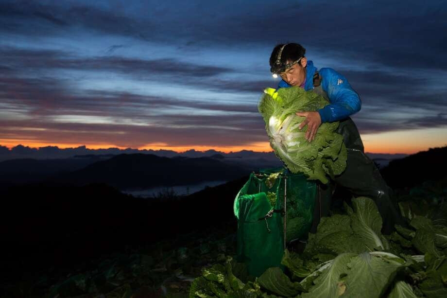 South Korea: A worker harvests napa cabbages in a field on Anbandeok Hill at dawn in Gangneung, South Korea. Photo: SeongJoon Cho, Bloomberg