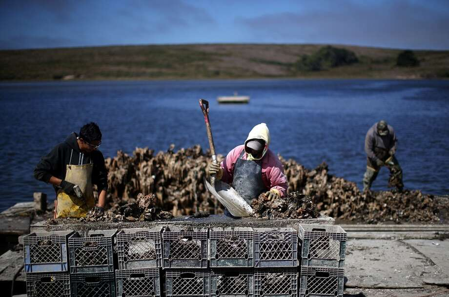 California: Drakes Bay Oyster Co. workers sort freshly harvested oysters.  Oyster farmer Kevin Lunny suffered another setback in his fight with the U.S. Park Service to renew the lease for his oyster farm that operates on Drakes Estero. The 9th U.S. Circuit Court of Appeals ruled against an injunction sought by Lunny to stay in business following former Interior Secretary Ken Salazar's decision to not issue a new operational permit and extend the lease of the land for the oyster company. The Park Service and conservationists argue that Lunny's operations are destroying eelgrass beds, and his farm is too close to the area used by harbor seals for reproducing. Lunny reportedly responds that his farm is 'the epitome of sustainable food production,' and oysters have improved the water quality by filtering out particulate matter as they feed and were helping the eelgrass to flourish since the early 90's. Drakes Bay Oyster Co. produces over 300,000 oysters and about one million Manila clams each year, reportedly, 85 percent of shellfish grown in Marin County. Photo: Justin Sullivan, Getty Images