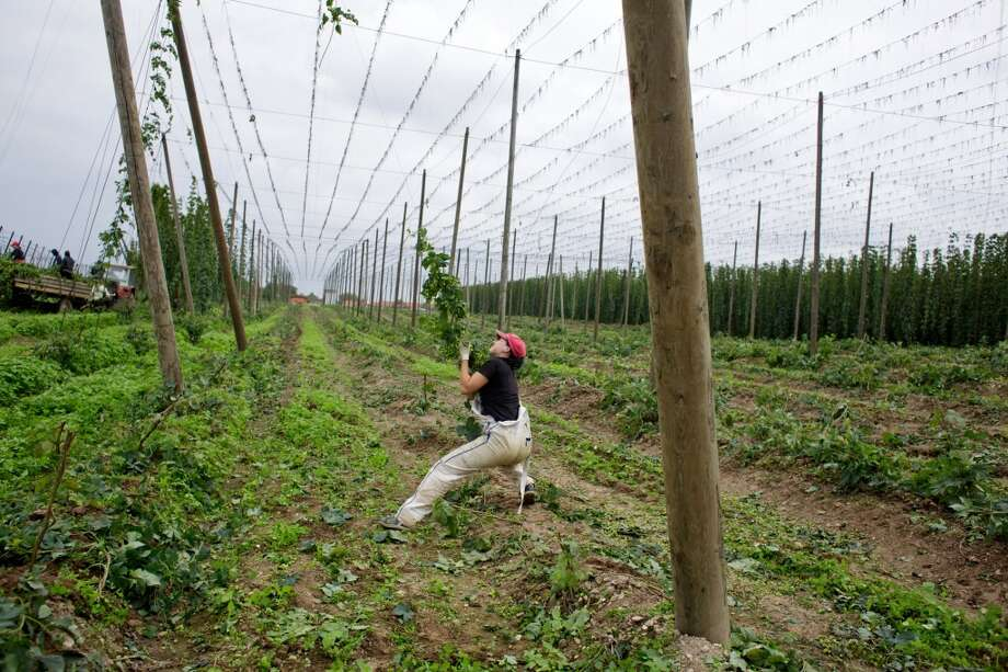 Czech Republic: A worker pulls on a wire to collect a trapped hop plant during the harvest in Rocov near Zatec, Czech Republic. Rising export demand helped the Czech Republic exit a record-long recession in the second quarter even as household spending renewed its decline. Photo: Martin Divisek, Bloomberg