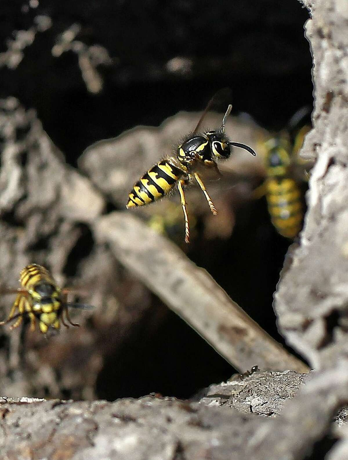 Western Yellowjackets enter a nest found on the grounds of the UC Berkeley Field Station in Richmond, Calif. on Thursday Sept. 5, 2013, at the base of a Eucalyptus tree.
