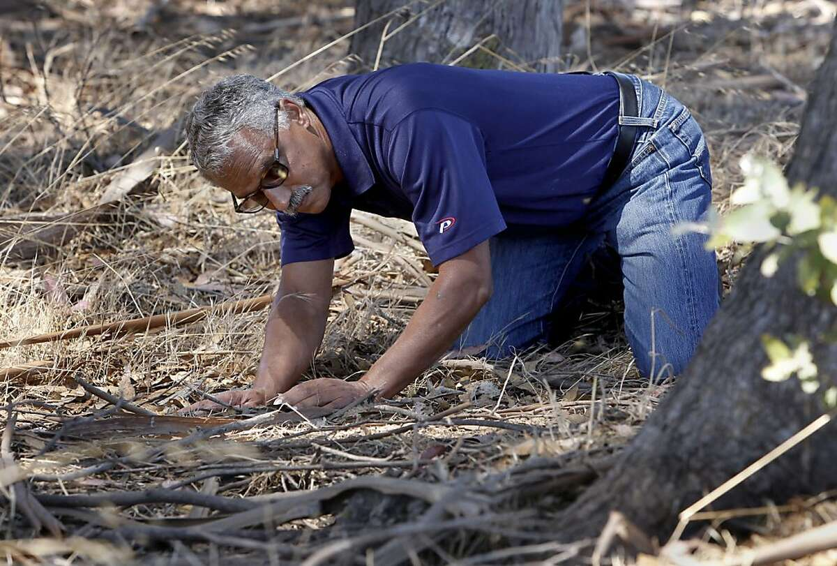 Vernard Lewis, a Cooperative Extension Specialist, Division of Organisms with UC Berkeley investigates a yellow jacket nest found on the grounds of the UC Berkeley Field Station in Richmond, Calif. on Thursday Sept. 5, 2013, located at the base of a Eucalyptus tree.