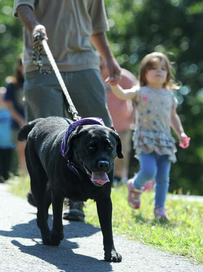 Hudson, a black lab, walks with owners Kyle Walsh and Charlotte Walsh, 2, of Danbury, at the American Cancer Society Bark for Life at Meckauer Park in Bethel, Conn. on Saturday, Sept. 7, 2013.  Bark for Life is a half-mile walk for dogs and their owners that raises money for the American Cancer Society and honoring the contributions of the Canine Caregivers.  The event also featured a raffle, food and many contests for the dogs, including best dressed, best tail-wagger and best smile. Photo: Tyler Sizemore / The News-Times