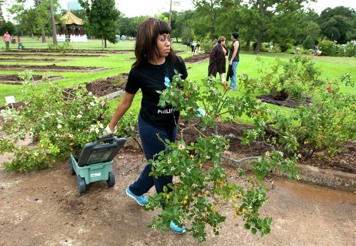 Shelia Tolbert carries her rose bushes out of the Houston Garden Center on Saturday, Sept. 7, 2013, in Houston. The Garden Center invited the public to help clear out their flower beds that held over 10,000 plants for $2.00 a piece. The proceeds from the sale will be used to support Hermann Park for landscape and garden supplies.